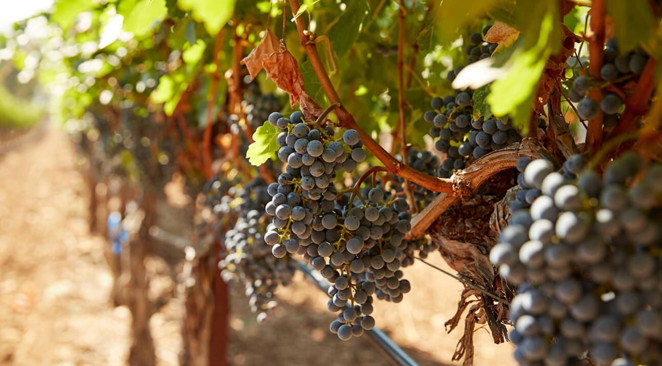 Freemark Abbey Winery Napa Valley Cabernet Sauvignon Grapes